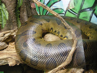 Green Anaconda, the world's largest snake