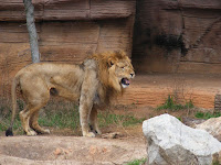 Lion roaring at Riverbanks Zoo