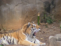 Riverbanks Zoo Siberian tiger yawning