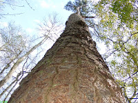 Congaree National Park grand Loblolly pine tree
