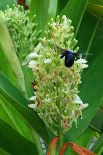 Galanga Flowers and Carpenter Bee