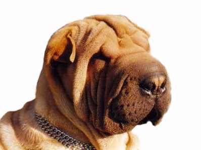 Enfermedades De Los Párpados En El Perro Blog Veterinario