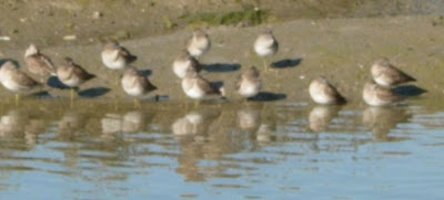 small wading birds like sandpipers