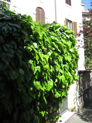 Ivy covers the wall on this local street.
