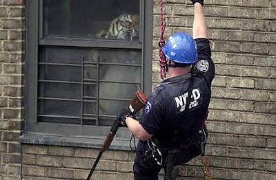 SF Zoo Tiger Attack: Tigers Shot in Dallas and Harlem | DBKP