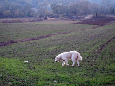 An old sheep dog
