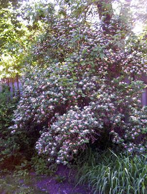 Honeysuckle bush
