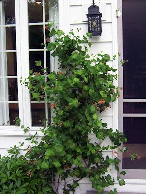 Honeysuckle vine