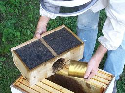 pouring bees in hive