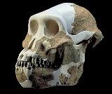 Afarensis skull - symbol of Afarensis  blog