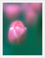 Photograph of a Tulip