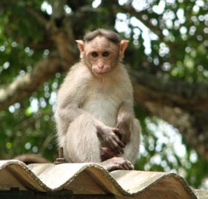 monkey in temple