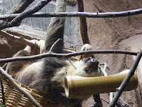 Lazy Sloth Eating at Riverbanks Zoo