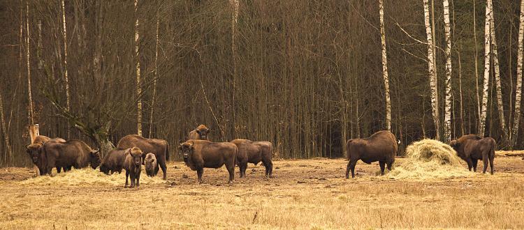 Wycieczka do Puszczy Białowieskiej. Zwiedzanie rezerwatu żubrów oraz Muzeum Białowieskiego Parku Narodowego Z