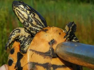 大人のオモチャが亀を救う