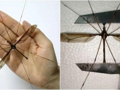 世界最大の巨大蚊を中国で捕獲
