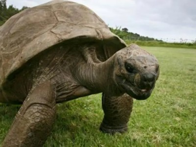世界最高齢の亀
