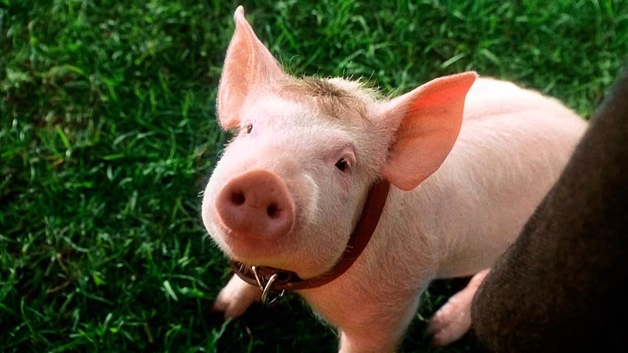 Resultado de imagem para babe o porquinho