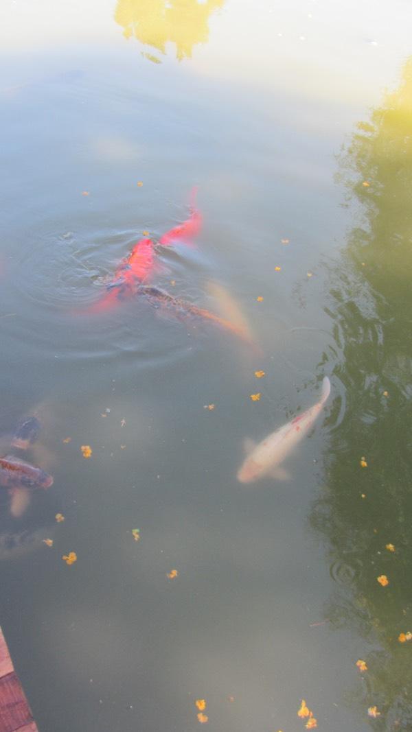 As carpas do Jardim Japonês