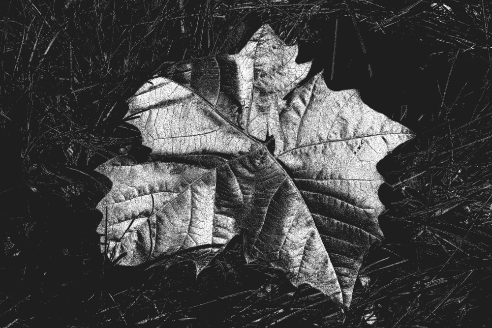 digitally altered photograph of a sycamore leaf lying in the grass
