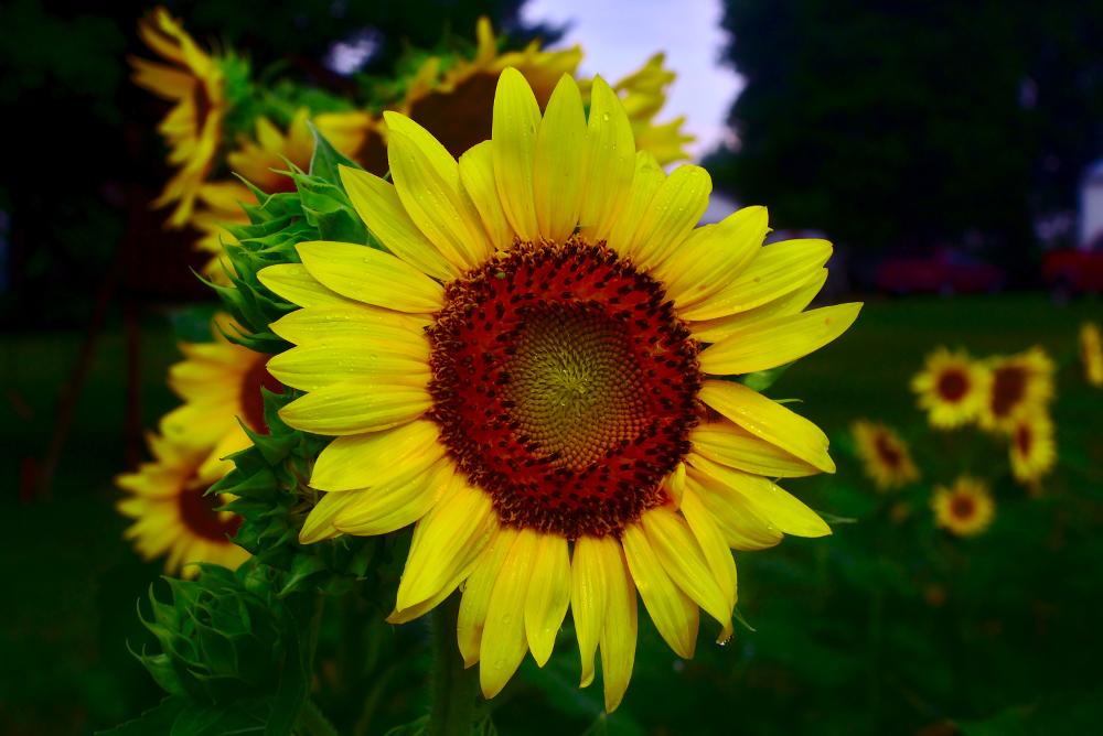 sunflower after summer storm