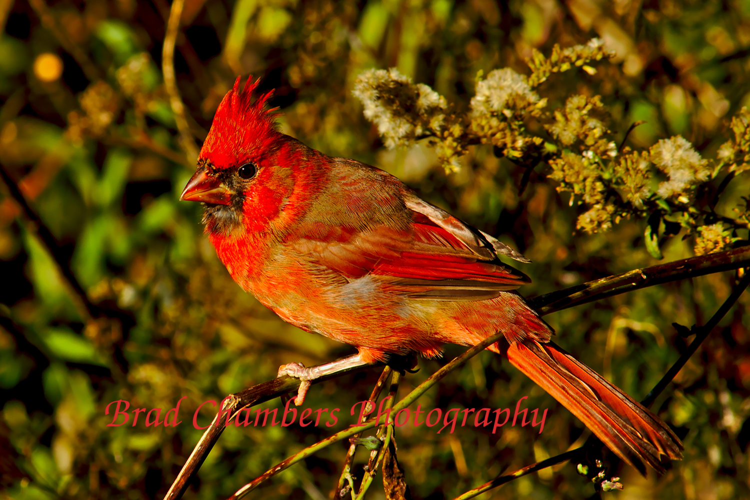 cardinal in early winter