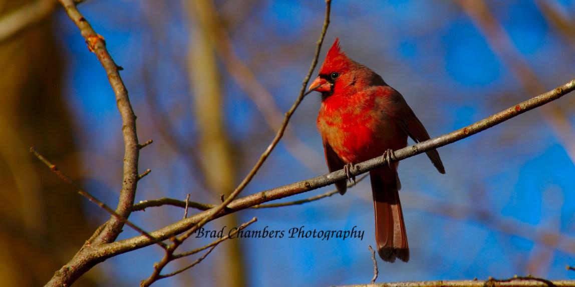 Cardinal looking fierce