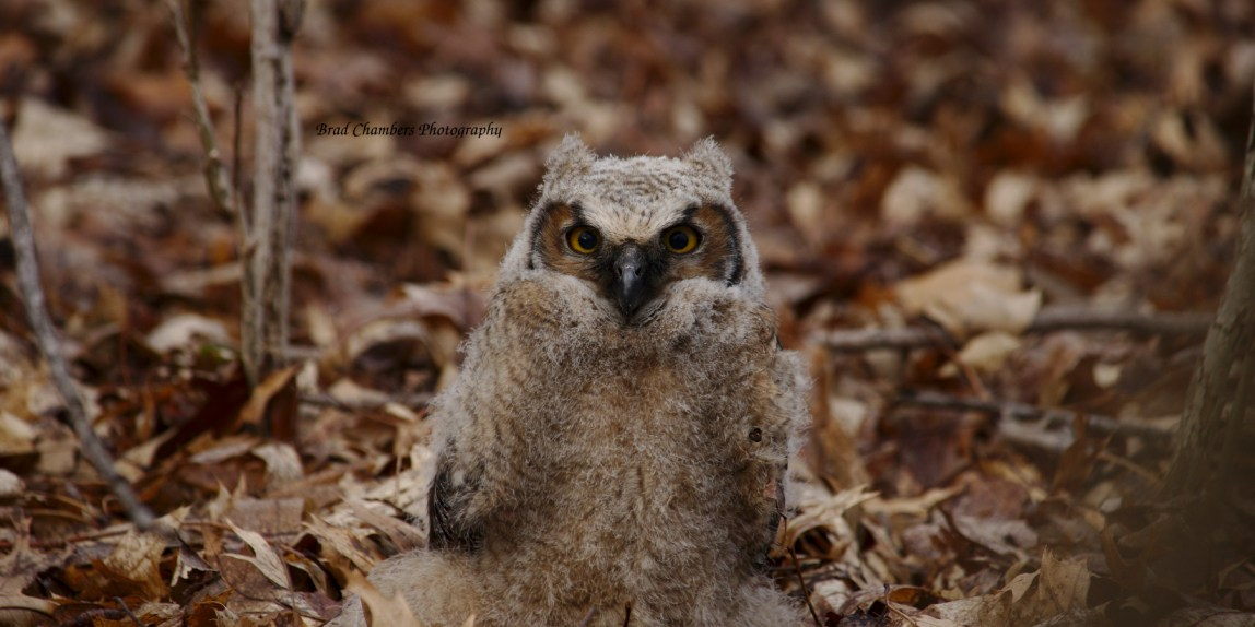 immature owl