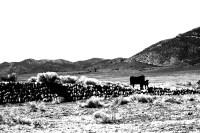 Cattle on Stone Dam