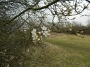 Large blackthorn bush on March 11th this year at the meadows