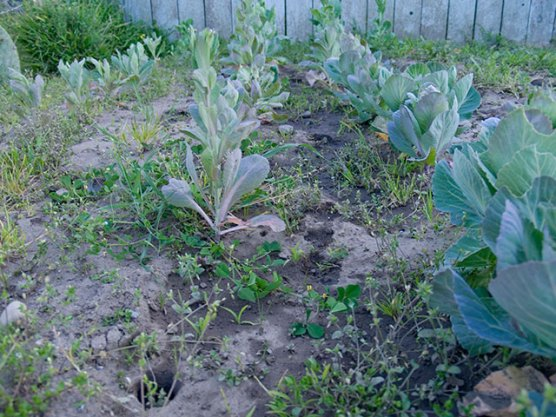 brussel-sprouts_3-27-08
