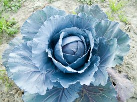 cabbage_3-27-08