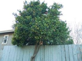 tangerine-tree_4-3-08
