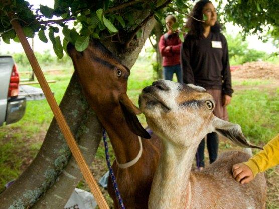 meet-the-goats_5-30-09