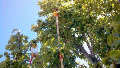 santa-cruz-fruit-tree-project_12_8-26-12