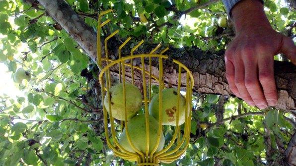 santa-cruz-fruit-tree-project_7_8-26-12