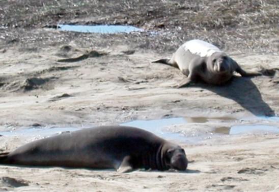 elephant-seals_1-4-06