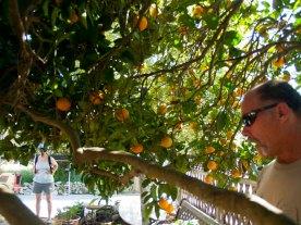 Ron Talks About His Bumper Harvest of Oranges