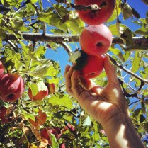 Apples harvested by hand
