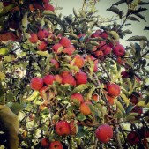 A bumper crop of apples at Farmer Bill's orchard in Soquel