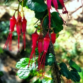 Fuchsia-flowered Gooseberry, Ribes speciosum, on the China Flat Trail.