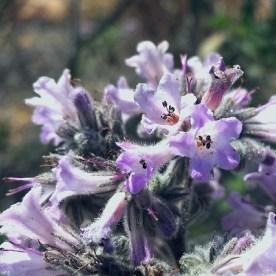Yerba Santa, Eriodictyon californicum, on the China Flat Trail.