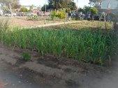 Maize Grows in the Beach Flats Community Garden