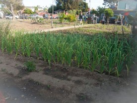 Maize Grows in the Beach Flats Community Garden