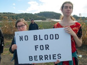 No Blood for Berries