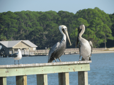 About Us Pelicans