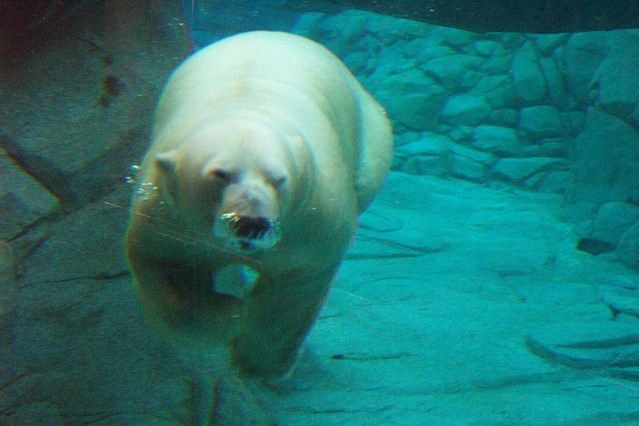 cold thermogenesis: polar bear