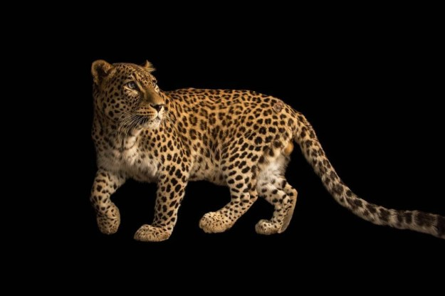 This Persian leopard at the Budapest Zoo was the 5,000th animal on the Photo Ark.
