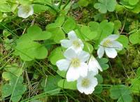 La pianta dell'acetosella nel suo ambiente naturale