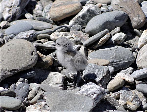 Wrybill chick
